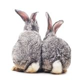 Baby rabbits. Grey baby rabbits on a white background Royalty Free Stock Photo