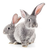 Baby rabbits. Royalty Free Stock Image