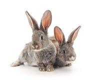 Baby rabbits. Stock Image