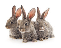 Baby rabbits. Grey baby rabbits on a white background Stock Photography