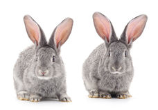 Baby rabbits. Grey baby rabbits on a white background Stock Photo