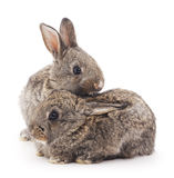 Baby rabbits. Grey baby rabbits on a white background Royalty Free Stock Images