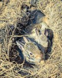 Baby rabbits in the nest. A few weeks-old baby rabbits in their nest found in a vegetable garden stock photography