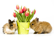 Baby rabbits with tulips Stock Images