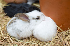 Baby rabbits in variety colors black brown and white on hay Royalty Free Stock Photos