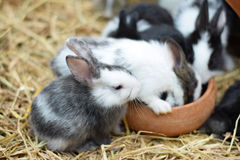Baby rabbits in variety colors black brown and white on hay Stock Photos