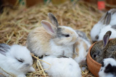 Baby rabbits in variety colors black brown and white on hay Royalty Free Stock Images