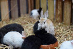 Baby rabbits in variety colors black brown and white on hay Stock Images