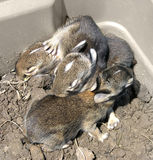 Baby Rabbits. Which were rescued twice from their nest during mowing. They were returned to thier nest each time, and fortunately their mother returned to care Royalty Free Stock Images