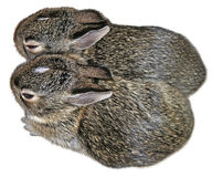 Baby Rabbits. Which were rescued twice from their nest during mowing. They were returned to thier nest each time, and fortunately their mother returned to care Stock Photos