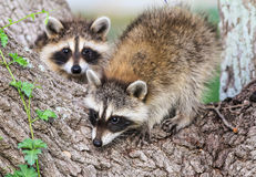 Baby Raccons (Procyon lotor) in Tree Stock Images