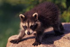 Baby Raccoon Stock Photography