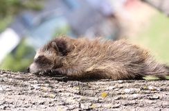 Baby raccoon. Sleeping on a tree Royalty Free Stock Photography