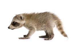 Baby raccoon (6 weeks) - Procyon lotor Stock Image