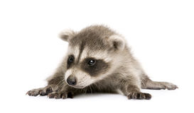 Baby raccoon (6 weeks) - Procyon lotor Royalty Free Stock Photo