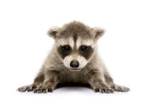 Baby raccoon (6 weeks) - Procyon lotor Royalty Free Stock Image