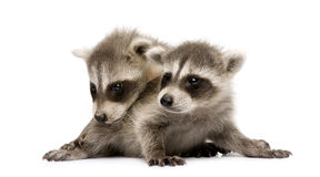 Baby raccoon (6 weeks) - Procyon lotor Royalty Free Stock Photos