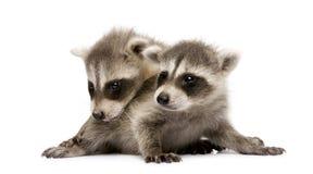 Free Baby Raccoon (6 Weeks) - Procyon Lotor Royalty Free Stock Photos - 5540858