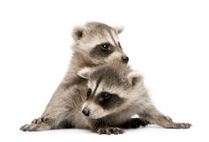 Baby raccoon (6 weeks) - Procyon lotor Stock Images