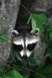 Baby Raccoon 1 Stock Photo