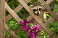 Baby Raccoon. Climbing in the garden stock images