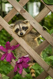 Baby Raccoon. Climbing in the garden royalty free stock image