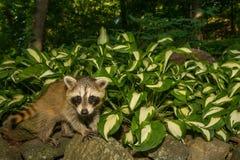 Baby Raccoon. Climbing in the garden royalty free stock photo