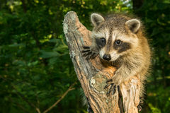 Baby Raccoon. Climbing an old stump in the forest stock photography