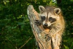Baby Raccoon Stock Photography