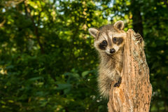 Baby Raccoon. Climbing an old stump in the forest royalty free stock photography