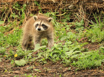 Baby Raccoon Stock Image