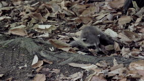 Baby raccoon crawling through dry leaves on the forest floor stock footage