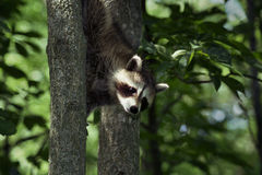 Baby Raccoon 2. A baby raccoon descending down a tree in the springtime Stock Image