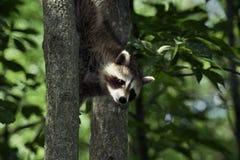 Baby Raccoon 2 Stock Image