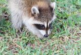 Baby Raccoon eating Acorns Stock Photo