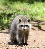 Baby Raccoon Royalty Free Stock Photo