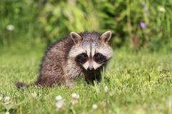 Baby raccoon in grass. During summer Stock Photography