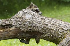 Baby Raccoon Hanging off a Tree Branch Stock Photography