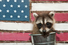 Baby Raccoon Stock Photos