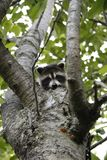 Baby raccoon hiding in cherry tree. Baby raccoon hiding in a crook of a cherry tree, peeping his little head over the edge. A curious baby in the spring stock photo