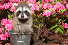 Baby Raccoon Royalty Free Stock Photos