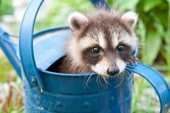 Baby Raccoon. Hiding in the garden royalty free stock photos