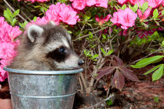 Baby Raccoon Royalty Free Stock Photography