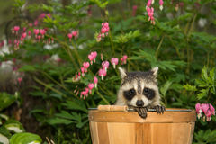 Baby Raccoon. A Baby raccoon hiding in the garden stock image