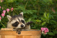 Baby Raccoon. A Baby raccoon hiding in the garden royalty free stock images