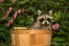 Baby Raccoon. A Baby raccoon hiding in the garden stock photography
