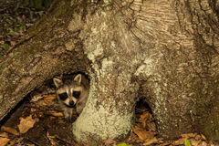 Baby Raccoon. A Baby raccoon hiding under the roots of a tree stock photo