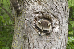 Baby Raccoon with his Head Sticking out of a Hole Royalty Free Stock Photo