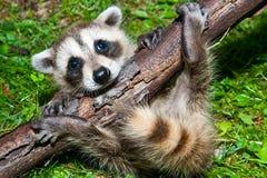 Baby Raccoon Learning To Climb. Royalty Free Stock Photo