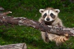 Baby Raccoon Learning to climb. Stock Photography
